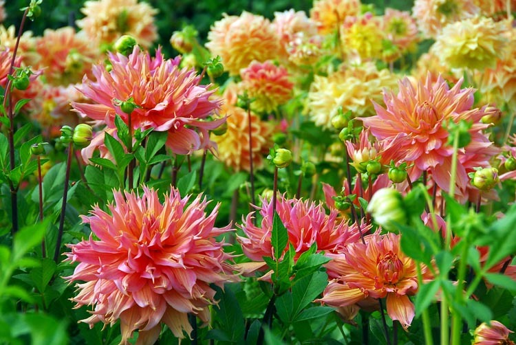 It's Not Too Late to Plant Your Dahlias This Year