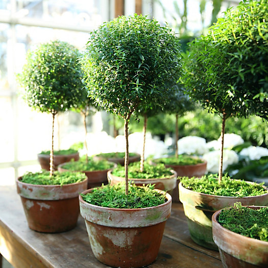 Freshen Up Your Decor with Indoor Topiaries: Myrtle, Lemon Cypress, Lavender and more!
