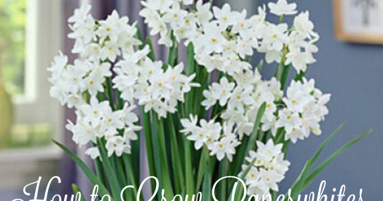 How to Plant & Grow Beautiful Paperwhites for the Holidays- Video